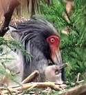 放鳥トキのヒナ誕生