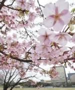 桜が咲き始めた九州地方