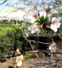 季節外れに開花した桜、ソッメイヨシノ